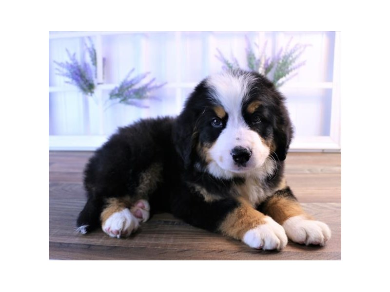 Bernese Mountain Dog-Female-Black Rust / White-2454800-Petland Naperville