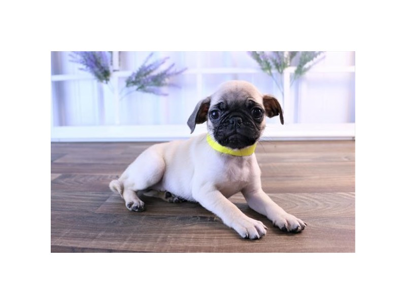 Pug-DOG-Female-Fawn-2454802-Petland Naperville