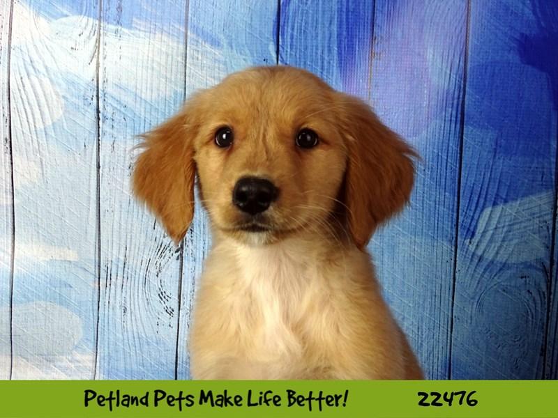 Golden Retriever-DOG-Male-Golden-2452805-Petland Naperville