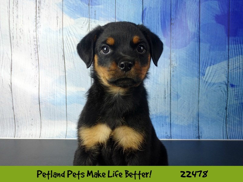 Rottweiler-DOG-Male-Black & Tan-2452848-Petland Naperville