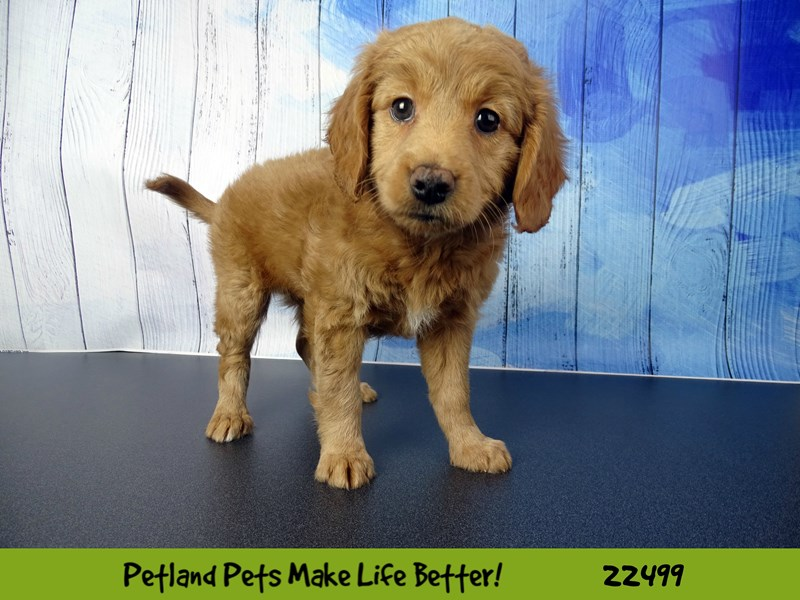 Miniature Goldendoodle-DOG-Female-Light Red-2459021-Petland Naperville
