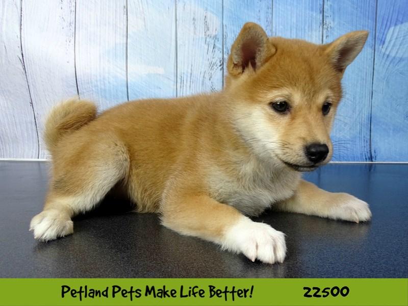 Shiba Inu-DOG-Female-Red Sesame-2459076-Petland Naperville
