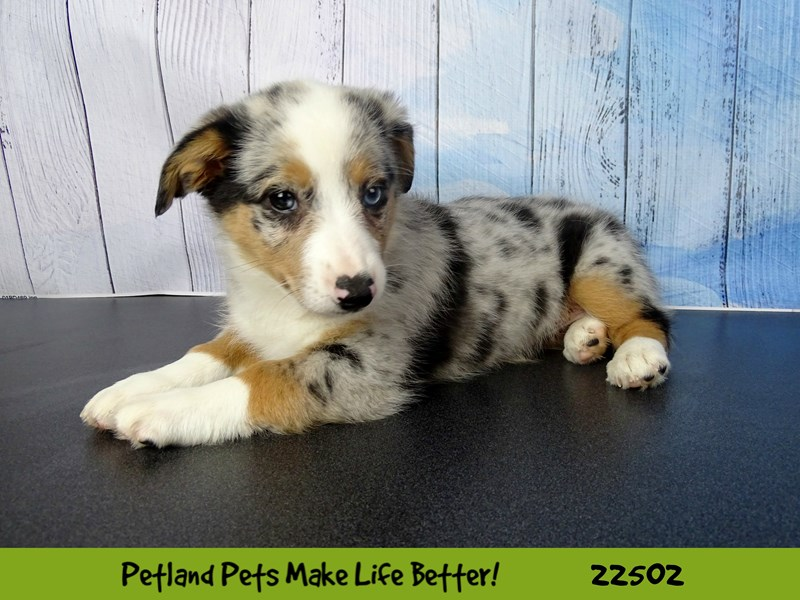 Auggie-DOG-Female-Blue Merle Tri-2459160-Petland Naperville