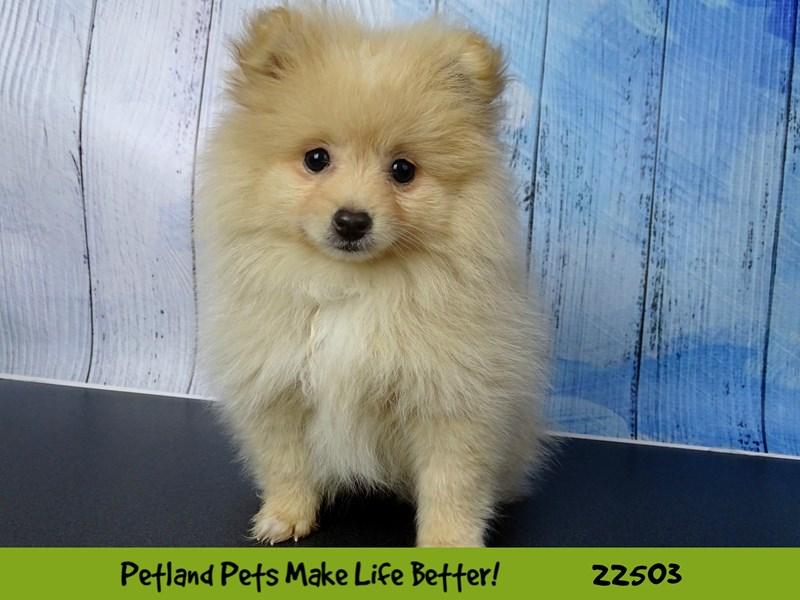 Pomeranian-Female-cream-2459204-Petland Naperville