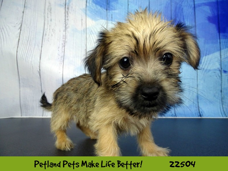 Shorkie-Female-Gold Sable-2459286-Petland Naperville