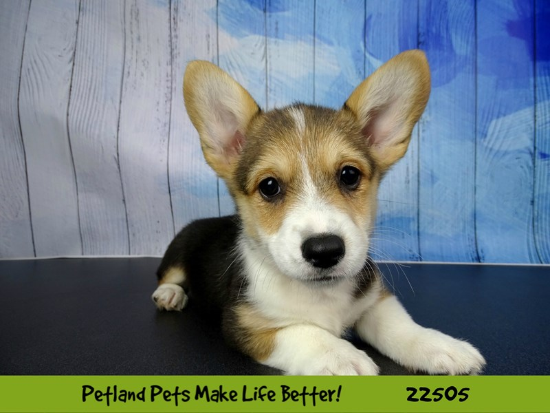 Pembroke Welsh Corgi-Male-Black White / Tan-2459284-Petland Naperville