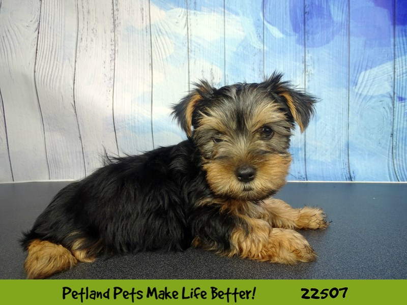 Yorkshire Terrier-Male-Black / Tan-2459287-Petland Naperville