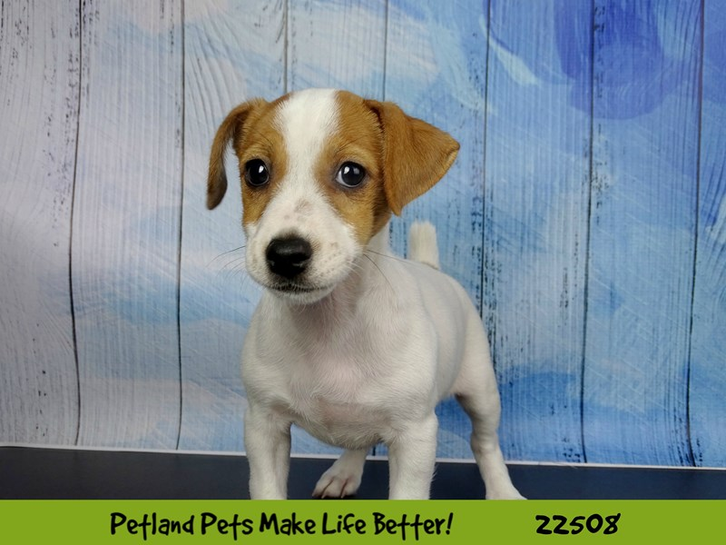 Jack Russell Terrier-DOG-Female-White / Red-2459397-Petland Naperville