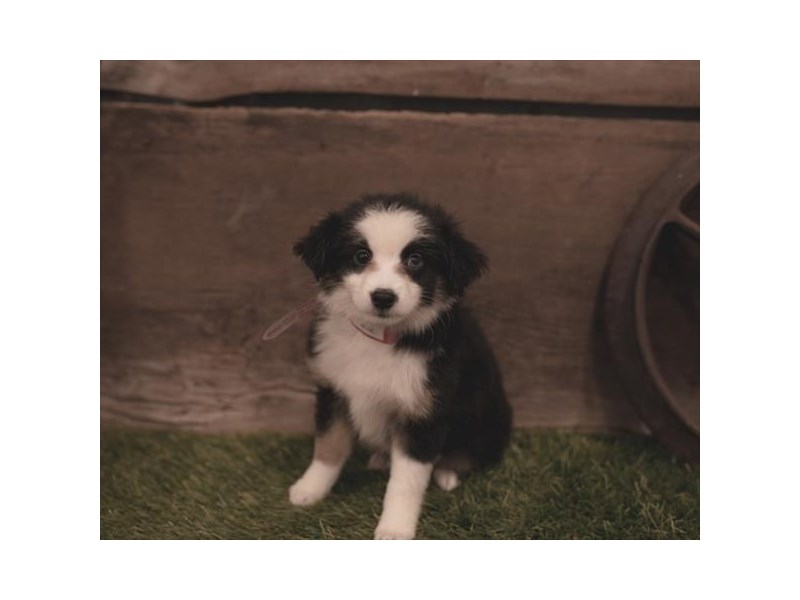 Australian Shepherd-Female-Black Tan / White-2460712-Petland Naperville