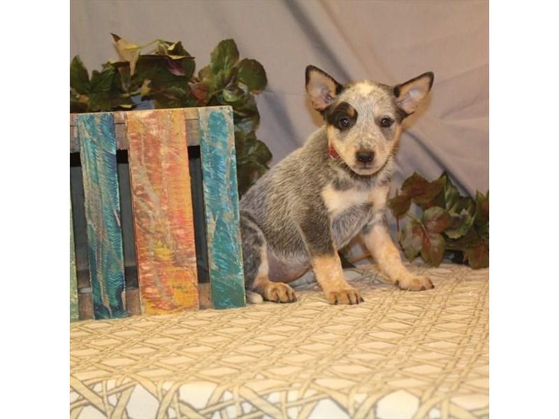 Heeler-DOG-Female-Blue-2464892-Petland Naperville