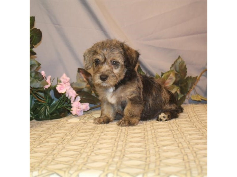 Poodle/Scottish Terrier-DOG-Female-Blue Merle-2465250-Petland Naperville