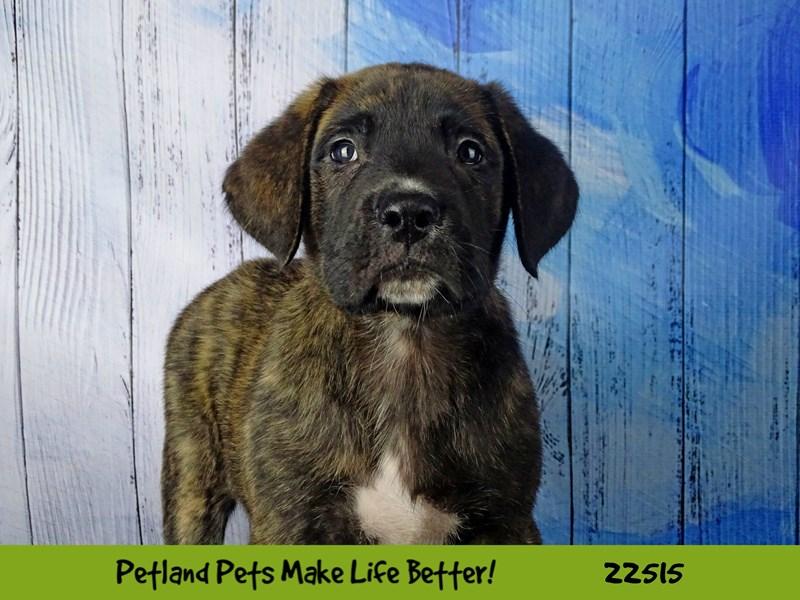Mastiff-Male-Brindle-2464879-Petland Naperville