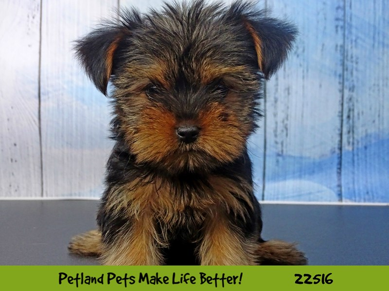 Yorkshire Terrier-Female-Black and Tan-2464903-Petland Naperville