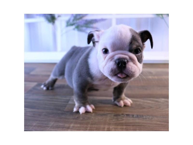 Bulldog-DOG-Female-Blue Tan / White-2466786-Petland Naperville