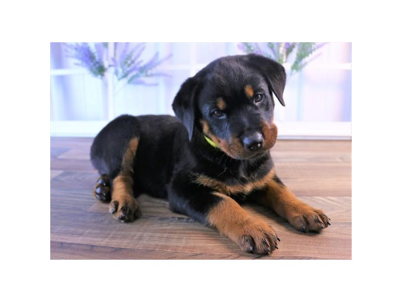 Rottweiler-DOG-Female-Black / Rust-2467187-Petland Naperville