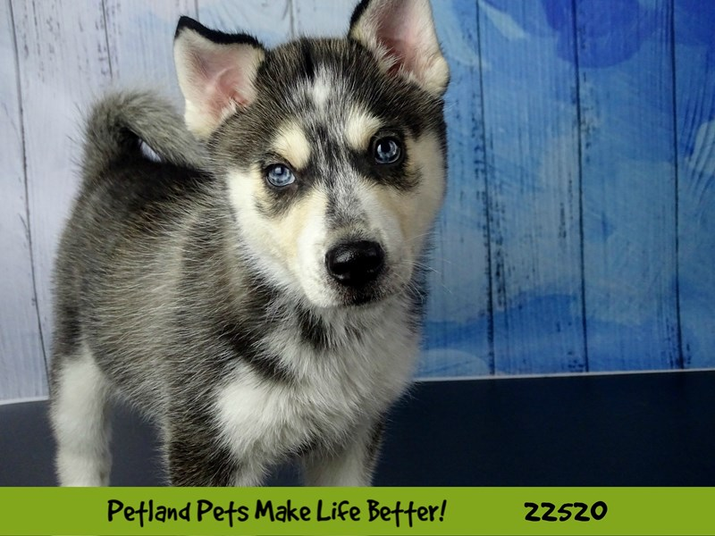 Chowsky-Female-Grey & White-2465285-Petland Naperville