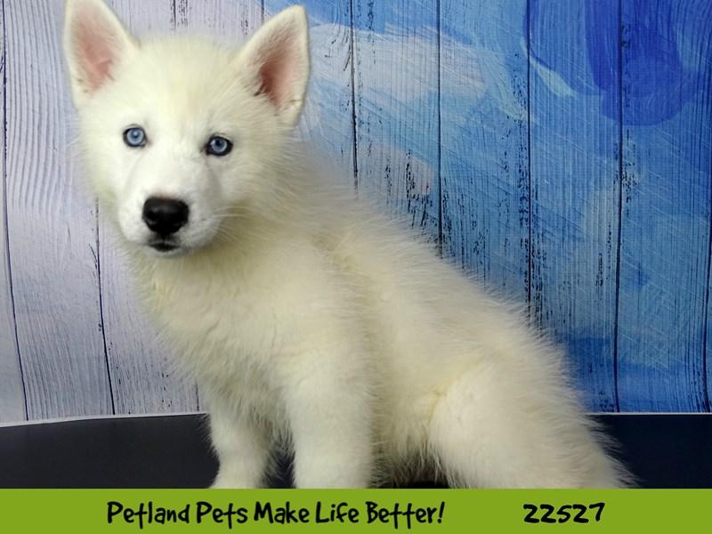 Siberian Husky-Male-White-2466796-Petland Naperville