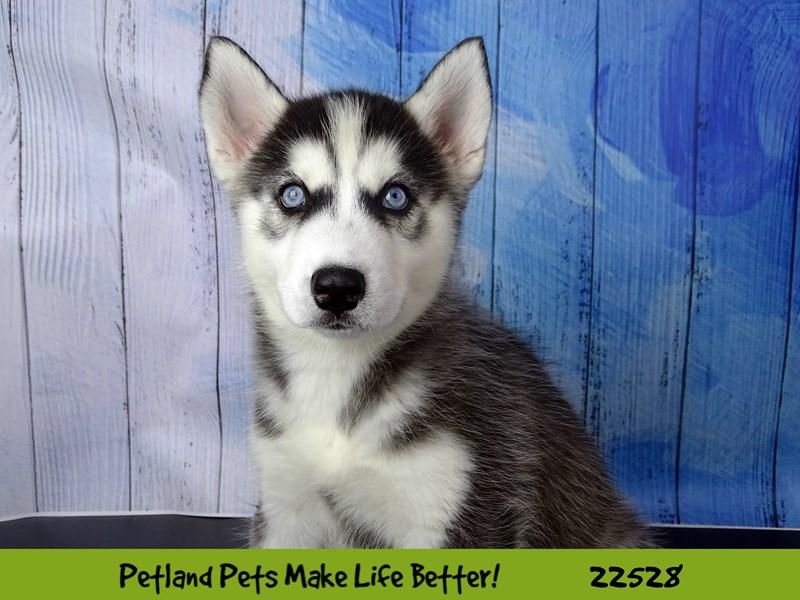 Siberian Husky-Female-Black / White-2466795-Petland Naperville