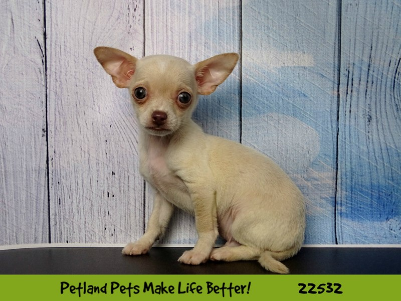 Chihuahua-Male-Cream-2466766-Petland Naperville