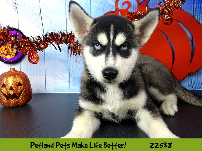 Siberian Husky-Male-Black and White-2471551-Petland Naperville