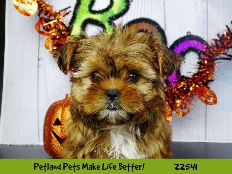 Shorkie-Female-Brown and White-2471643-Petland Naperville