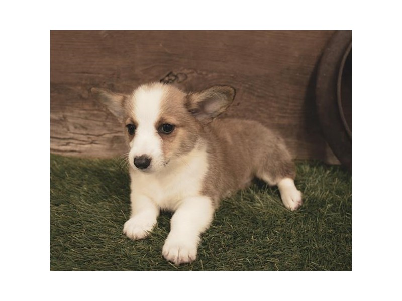 Pembroke Welsh Corgi-Female-Sable / White-2472878-Petland Naperville