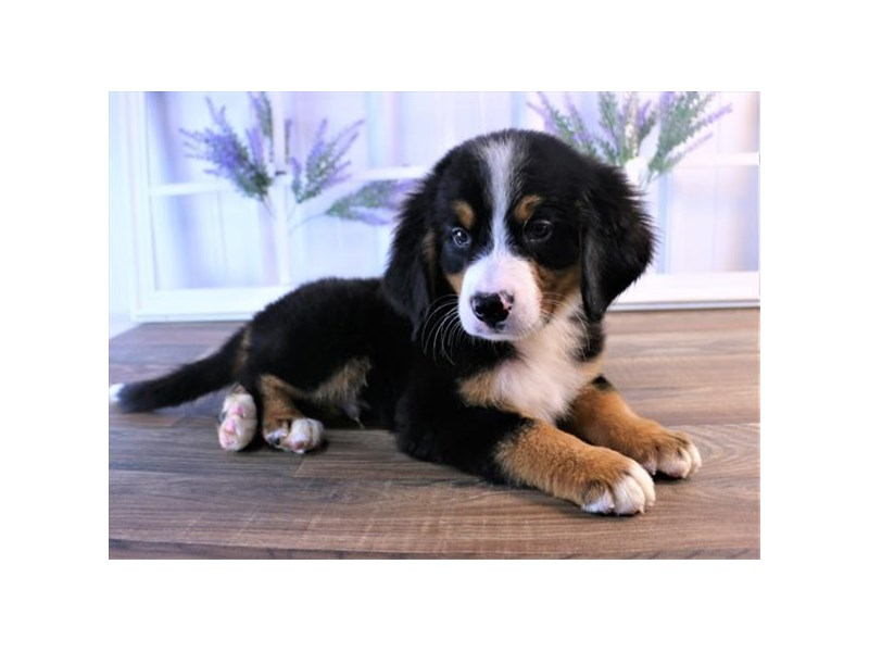 Bernese Mountain Dog-Male-Black Rust / White-2472900-Petland Naperville