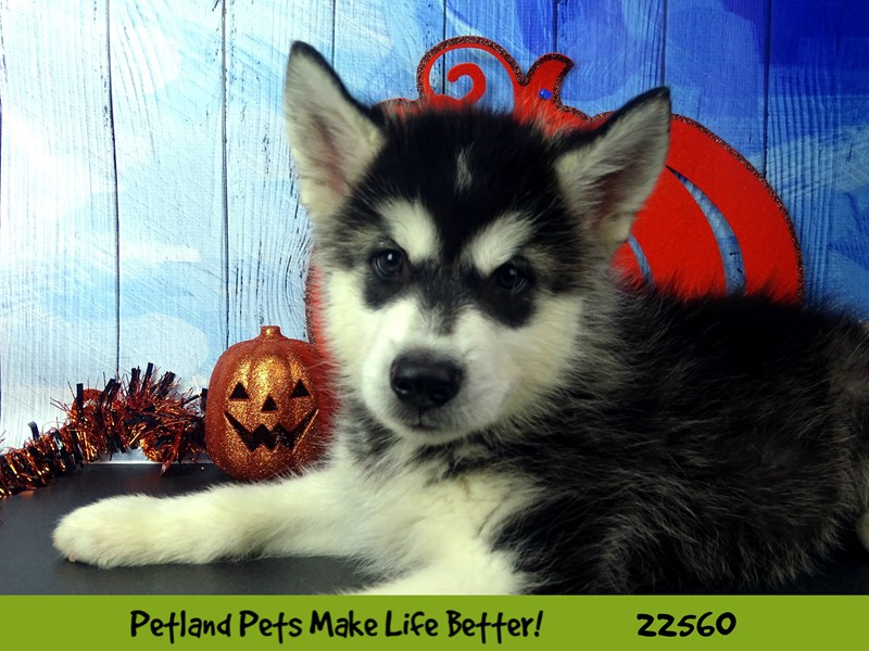 Alaskan Malamute-Male-Black and White-2478139-Petland Naperville