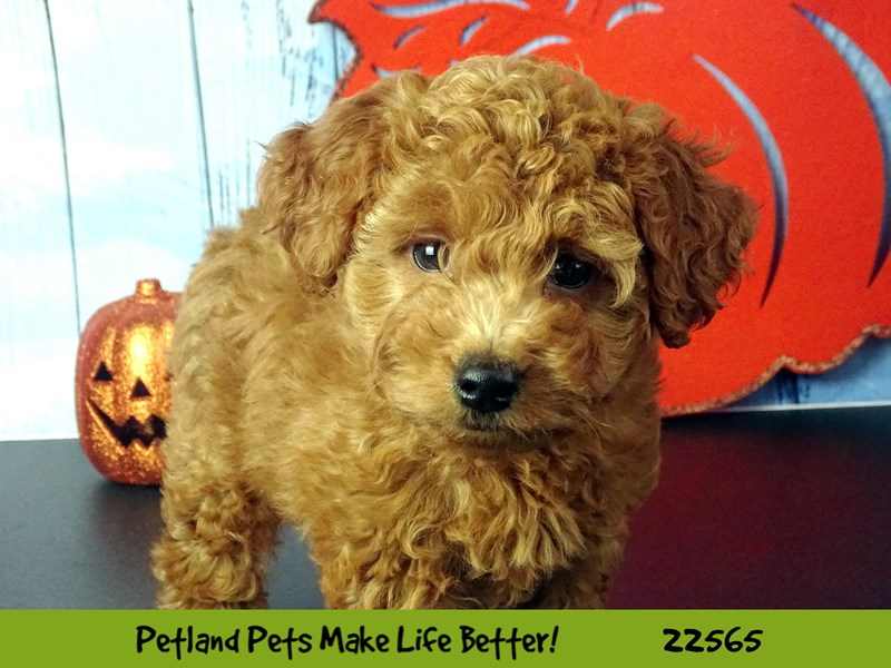 F1B Mini Goldendoodle-Female-Red-2478445-Petland Naperville