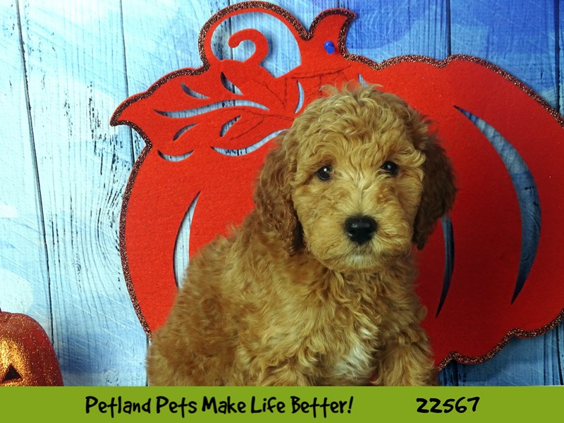 F1B Mini Goldendoodle-DOG-Male-Apricot-2478525-Petland Naperville