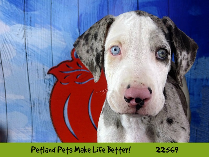 Great Dane-Male-Harlequin-2478034-Petland Naperville