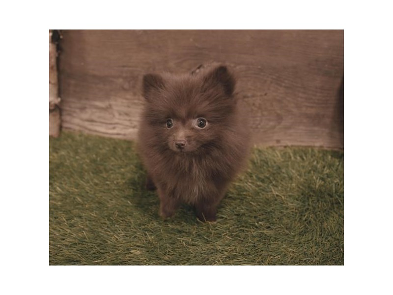 Pomeranian-Female-Brown-2479570-Petland Naperville