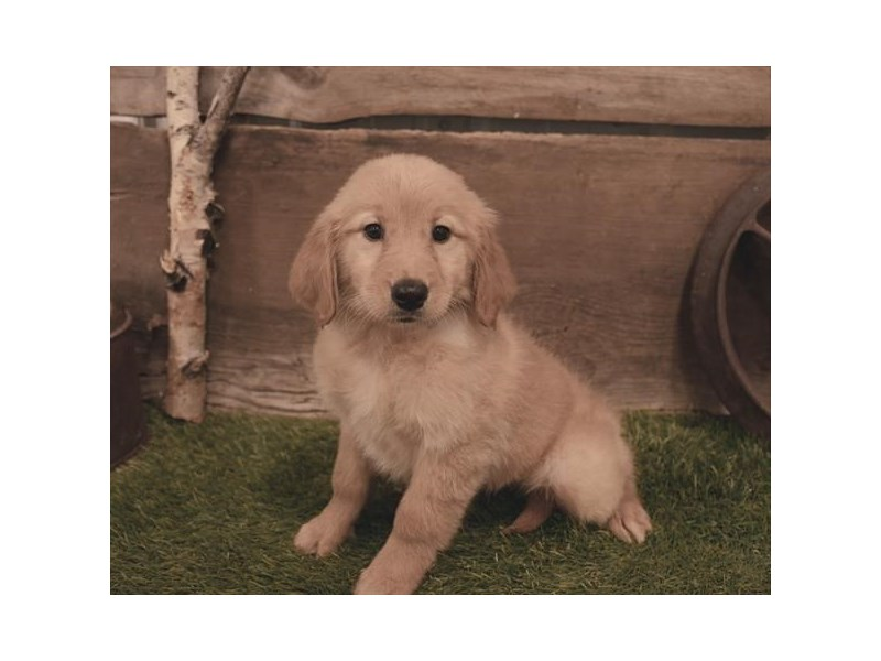 Golden Retriever-Female-Golden-2479579-Petland Naperville