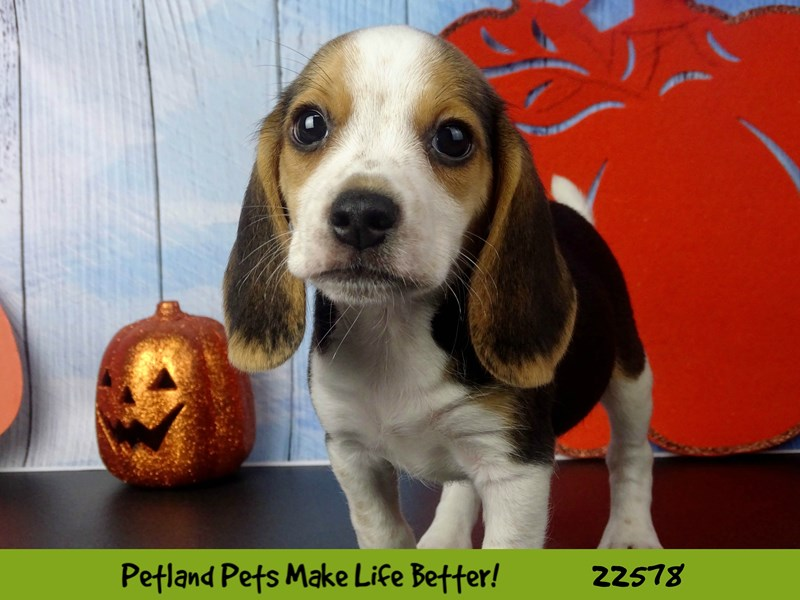 Beagle-Female-Tri-Colored-2479590-Petland Naperville
