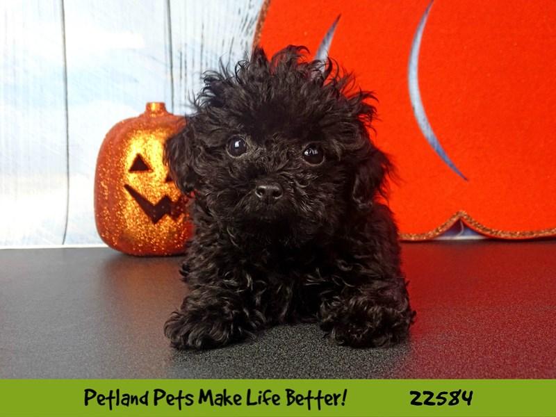 Poodle-Female-Black-2479598-Petland Naperville