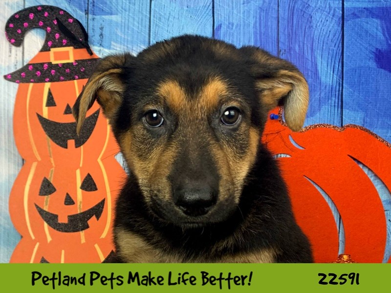 German Shepherd-Male-Black and Tan-2498523-Petland Naperville