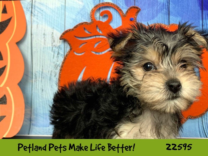 Morkie-Female-Black and Tan-2498598-Petland Naperville
