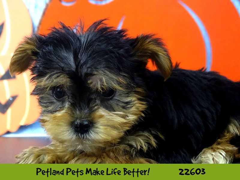 Yorkshire Terrier-Female-Black / Tan-2500314-Petland Naperville