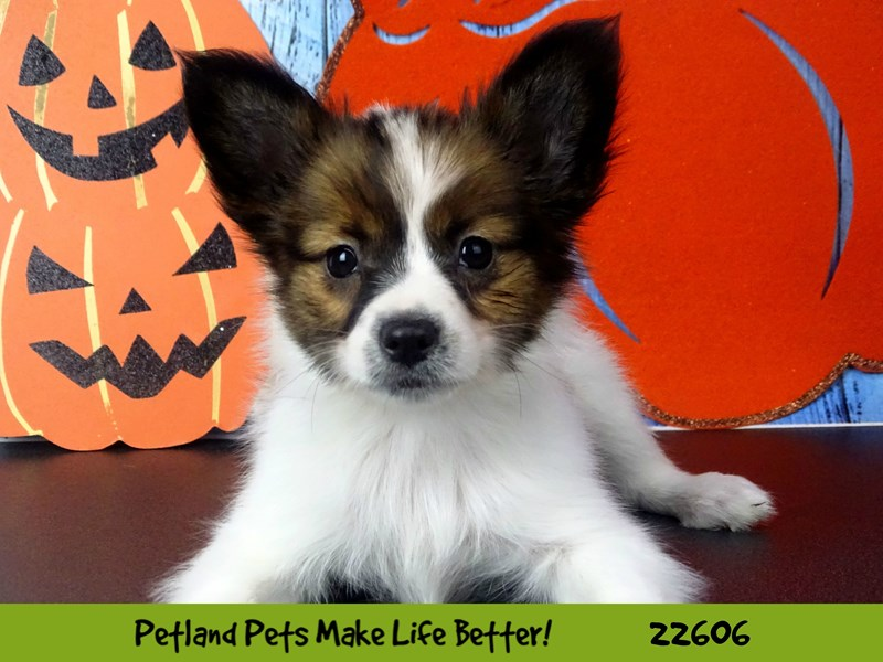 Papillon-DOG-Female-Sable / White-2500318-Petland Naperville