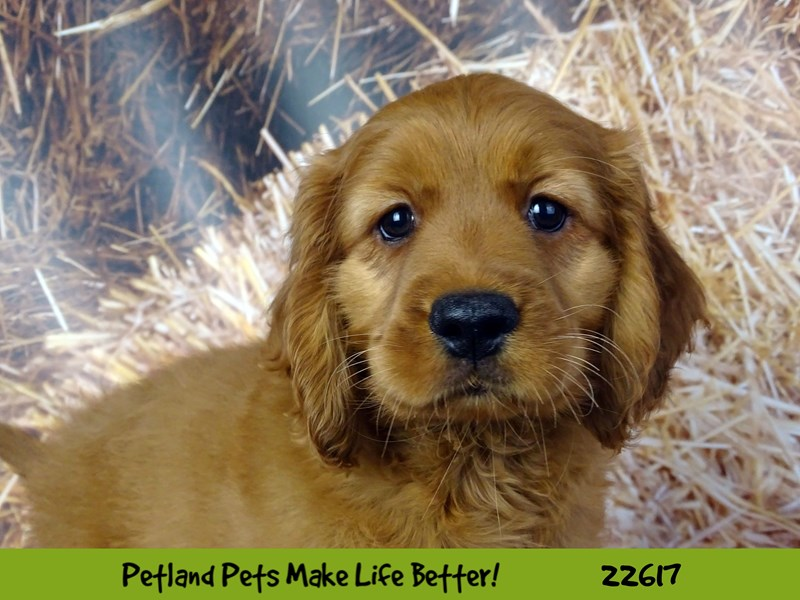Comfort Golden-Male-Red-2505128-Petland Naperville