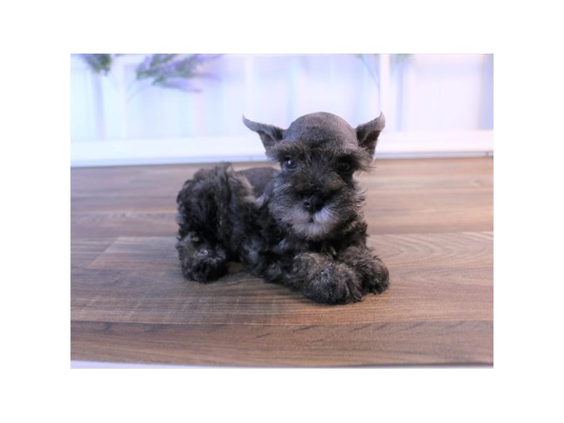 Miniature Schnauzer-Male-Salt / Pepper-2454789-Petland Naperville