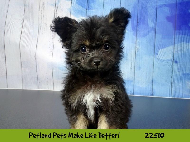 Pomeranian/Yorkshire Terrier-Female-Black / Tan-2460710-Petland Naperville