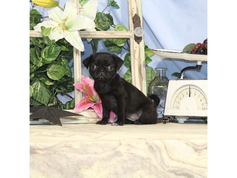 Pug-Female-Black-2464893-Petland Naperville