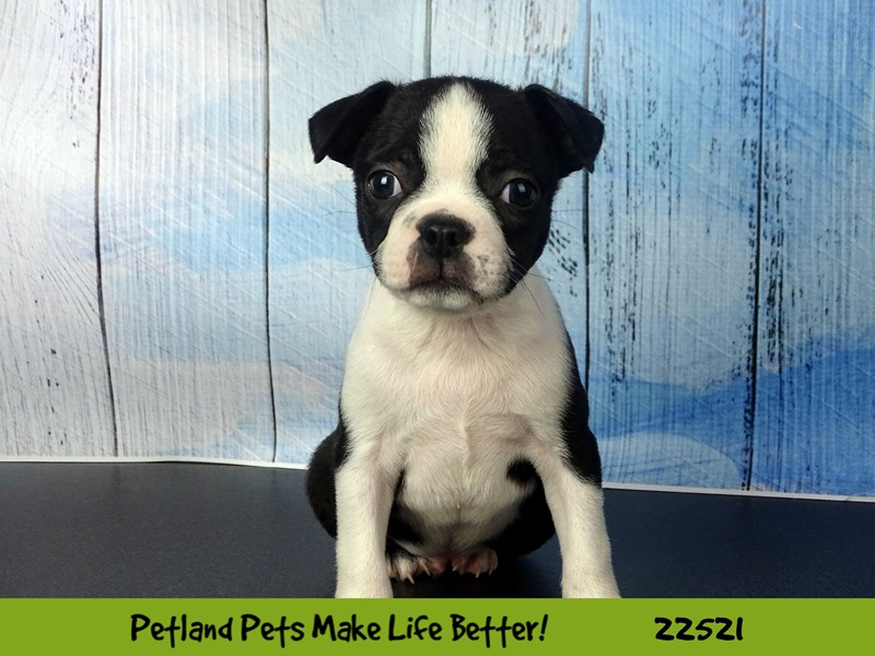 Boston Terrier-Male-Black-2464894-Petland Naperville