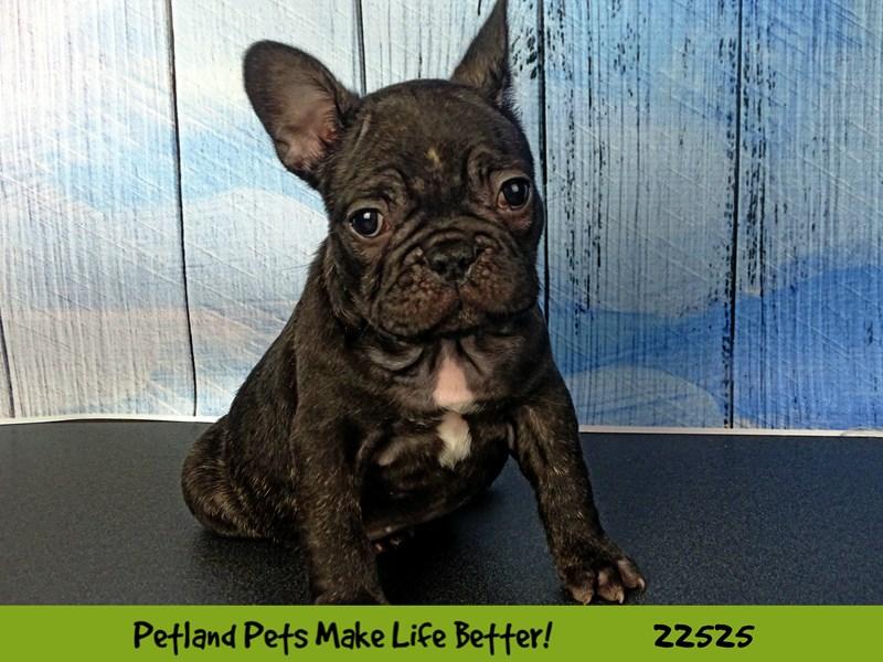 French Bulldog-Male-Chocolate-2465334-Petland Naperville