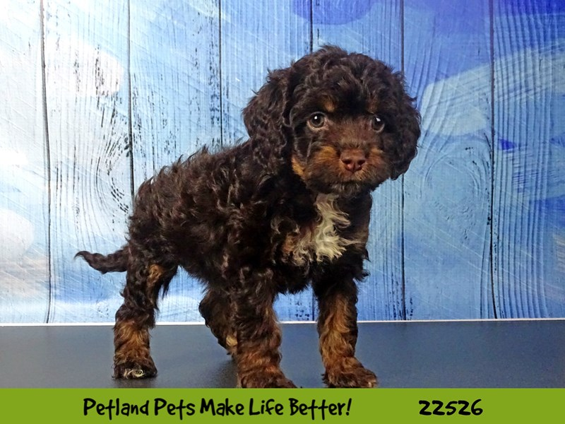 Cock A Poo-Female-Chocolate / Tan-2466771-Petland Naperville