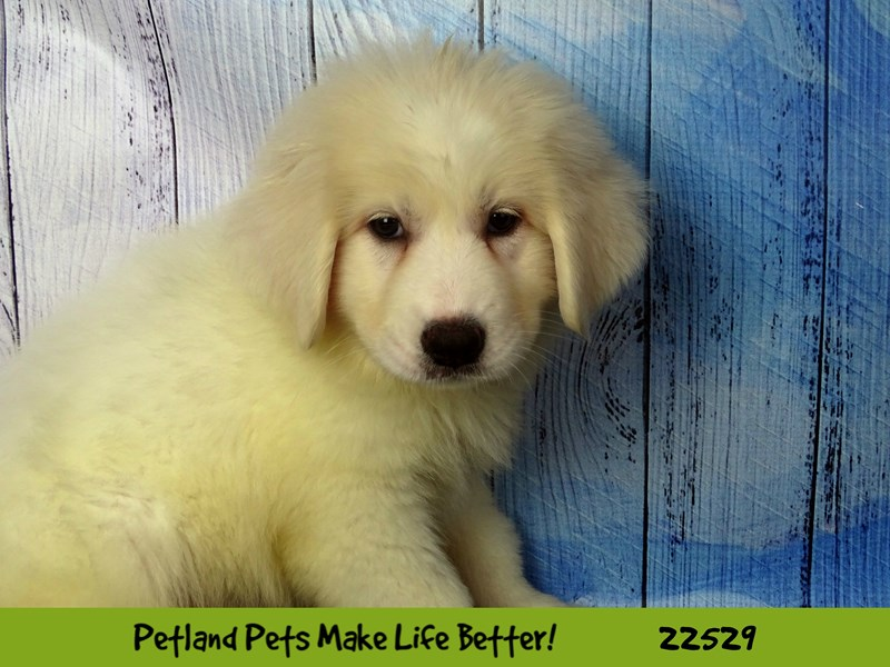 Great Pyrenees-Female-White-2466765-Petland Naperville