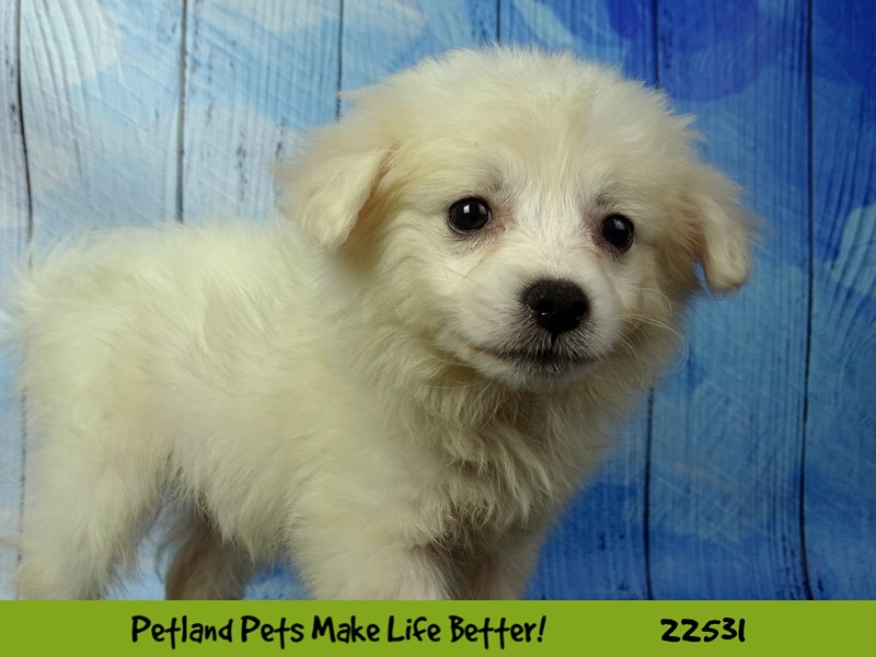 American Eskimo Dog-Female-White-2466768-Petland Naperville