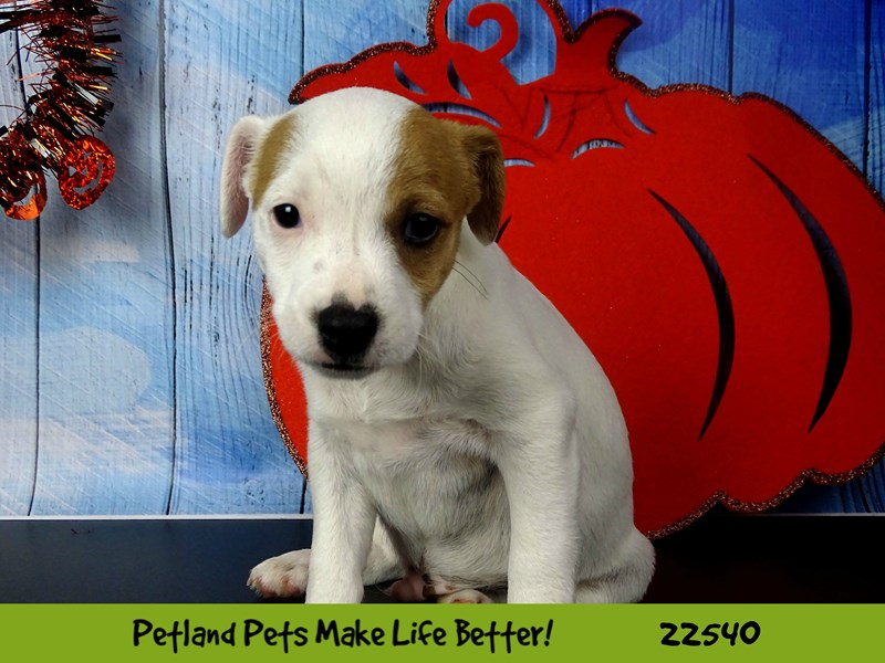 Jack Russell Terrier-DOG-Male-Red and White-2471618-Petland Naperville