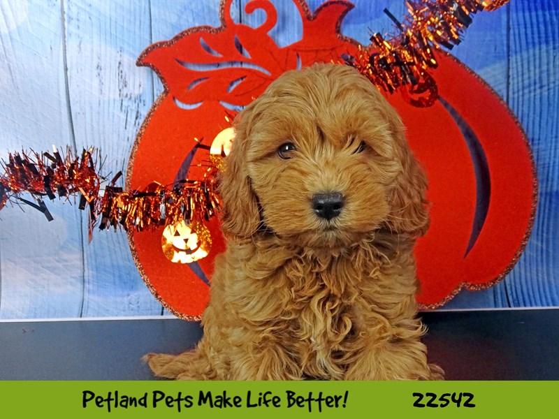 Miniature Goldendoodle 2nd Gen-DOG-Female-Red-2471703-Petland Naperville